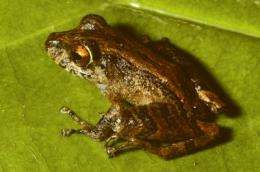 2 new frog species discovered in Panama's fungal war zone