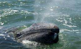 A grey whale calf exhales through its blowholes at the San Ignacio Lagoon, in Baja California Sur state, Mexico