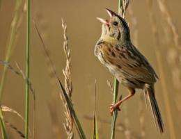 Biofuel grasslands better for birds than ethanol staple corn, researchers find