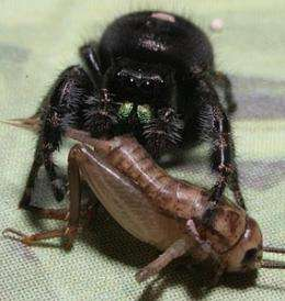 Biologist Tracks Spiders' Eyes to Learn How Tiny Brains Process Information