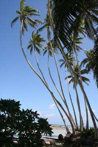Coconut palms bring ecological change to tropics, researchers say