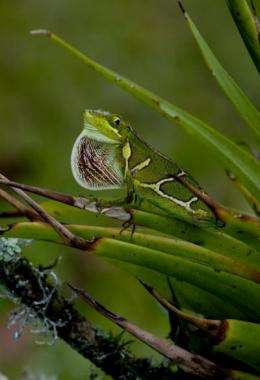 Competition puts the brakes on body evolution in island lizards