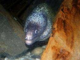 Cosmopolitan eels