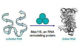 Evolutionarily Young Protein Helps Ancient RNA Get Into Shape