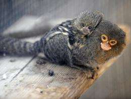 File photo of a young marmoset being carried by its father