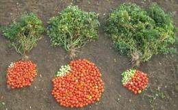 Genetic key discovered to dramatically increase yields and improve taste of hybrid tomato plants