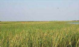 Grant to study effects of oil and dispersants on Louisiana salt marsh ecosystem