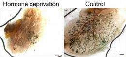 Hormone sensitivity of breast stem cells presents drug target