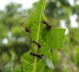 Leaf-cutter ants