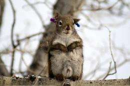 Opportunity leads to promiscuity among squirrels, study finds