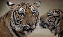 13 countries craft plan to save tigers (AP)