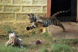Experts say the Bengal tiger is losing weight because of