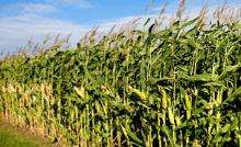 Global warming could spell disaster for corn crops