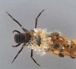 Glue, fly, glue: Caddisflies' underwater silk adhesive might suture wounds