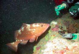 New study reveals red grouper to be 'Frank Lloyd Wrights of the sea'