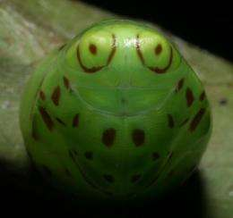 Penn biologist says fake eyes have enabled tropical caterpillars to thrive