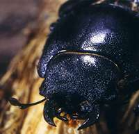 Stag beetles take flight, but not for long