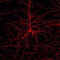 A neuron reveals its links with neighboring cells under the fluorescence microscope. The image processing software enables the c