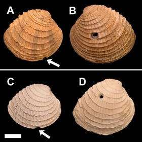Examples of predatory shell drilling