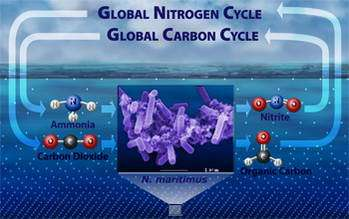 Marine Microorganism Suspected to Play Role in Global Carbon and Nitrogen Cycles