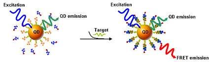 DNA probes capture the target strands of DNA...