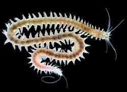 The marine worm Platynereis dumerilii