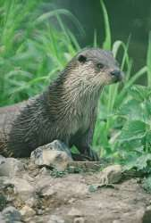 An otter.Credit: Pat Morris MTUK
