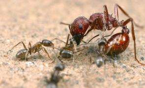 Scientists Find Natural Way to Control Spread of Destructive Argentine Ants