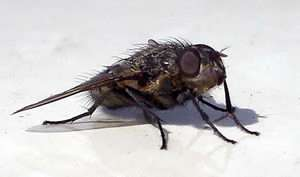 Flies provide aerodynamic model for tiny flying vehicles