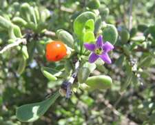 Fruit and flower of wolfberry, a member of the Solanaceae family