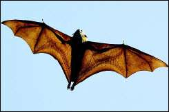 Bat in flight.