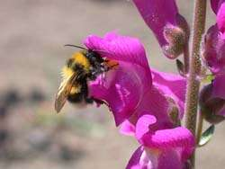 Snapdragons take the evolutionary high-road