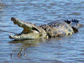 Could Global Warming Be Crushing Blow to Crocodiles?