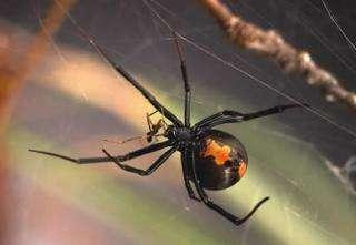 Female Australian redback spider eating male spider