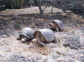 Giant tortoises at the Darwin Station on Isla Santa Cruz in the Galápagos Islands