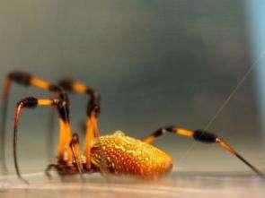 Engineers probe spiders' polymer art