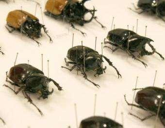 Vanishing beetle horns have surprise function