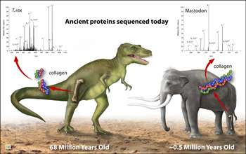 68-million-year-old T. rex proteins are oldest ever sequenced