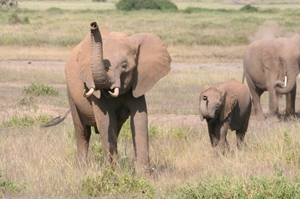 Elephants can 'smell danger'