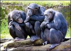 Chimpanzees at a zoo