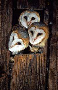 Age is more than a number -- In barn owls, it reveals how susceptible one is to climate change