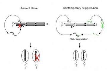 A sex-ratio meiotic drive system in Drosophila simulans