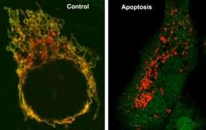 Bak Protein Sets Stressed Cells on Suicide Path, Researchers Show