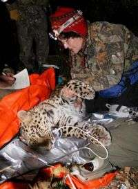 Critically endangered Amur leopard captured