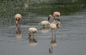 Extreme Weather Leaves Flamingos Hungry