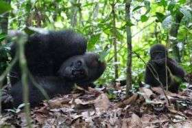 Gorillas in the Lope National Park, Gabon