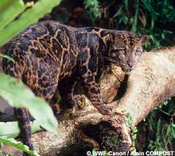 New species declared: Clouded leopard on Borneo and Sumatra