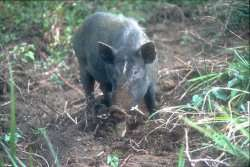 Pig study forces rethink of Pacific colonisation
