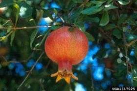Pomegranate Could Fight Cancer