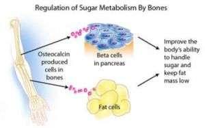 Regulation of Sugar Metabolism By Bones